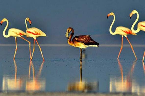 Flamingoların erken gelişi endişelendirdi!