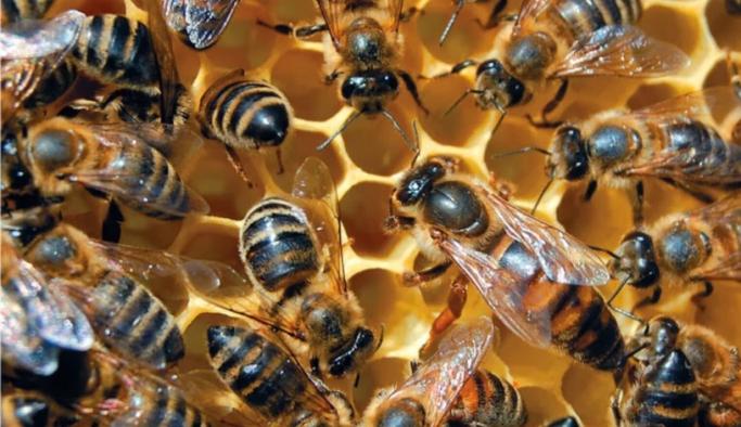 İngiltere'de 15 milyon yavru arı yakılarak yok edilebilir!