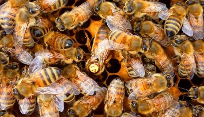 Yerli arı ırkları yok olma tehlikesiyle yüz yüze!