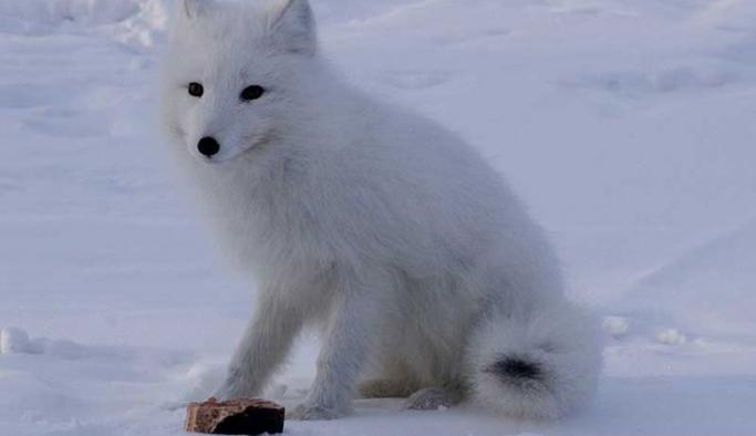 Aşırı soğuklar Rusya'daki kutup tilkilerini de etkiledi