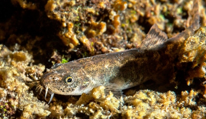 Van Gölü'ndeki ikinci balık türü: Küçük Mercan