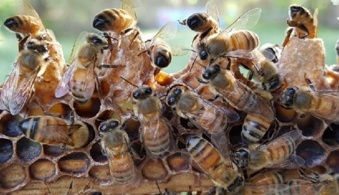 Yerli ırk arı ile verimlilik hedefleniyor