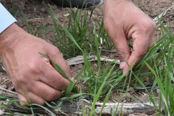 2 bin çeşit arasından 'tescillenecek' buğdaylar çiftçiye sunulacak