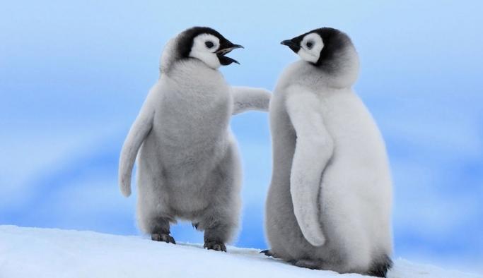 Küresel ısınma sınırlandırılamazsa penguenlerin yüzde 50'si yok olabilir