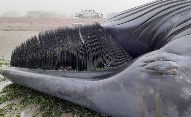 Antarktika balinası Afrika kıyılarına vurdu