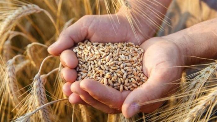 Ay sonuna kadar oluşacak yağışlar Buğday rekoltesini belirleyecek