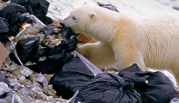 Yaşam alanları daralan kutup ayıları, deniz kuşu yumurtaları yemeye başladı