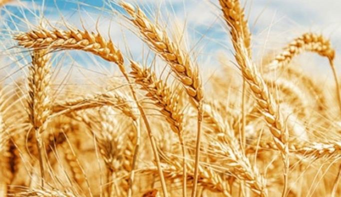 Don ve kuraklık nedeniyle buğdayda yüzde 50'nin üzerinde rekolte kaybı
