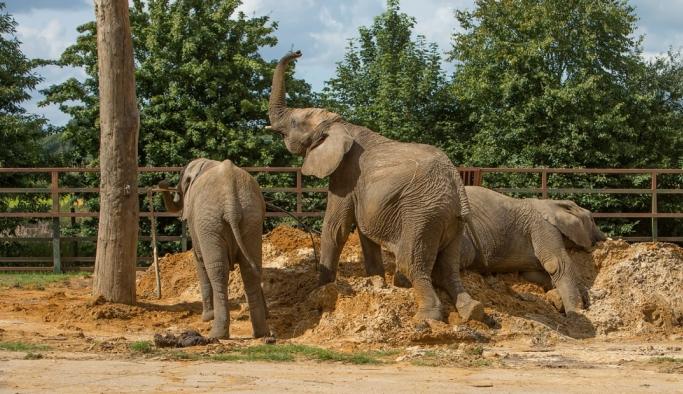 """""""Dünyada ilk"""": Britanya'daki hayvanat bahçesinde yaşayan 13 fil, Kenya'ya götürülüp doğaya bırakılacak"""