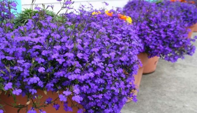 Lobelya çiçeği bakımı, özellikleri, çiçek açtırma yöntemi
