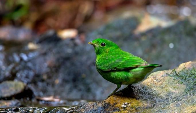 Nesli tükendiği düşünülen geniş gagalı yeşil kuş Singapur'da görüldü