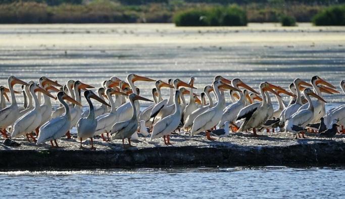 Pandemi pelikanlara yaradı: Arnavutluk'taki nüfusu son 1 yılda yüzde 20 arttı