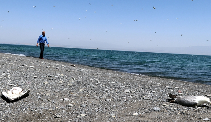 Van Gölü'nde toplu martı ölümleri