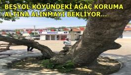 Beşyol Köyündeki Ağaç Koruma Altına Alınmayı Bekliyor...