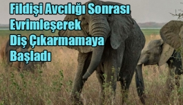 Filler, Fildişi Avcılığı Sonrası Evrimleşerek Diş Çıkarmamaya Başladı
