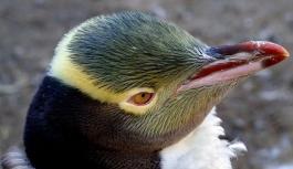 Utangaç penguen Hoiho 'Yılın Kuşu' seçildi