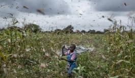 Afrika'dan havalanan çekirgeler Çin'e gidiyor!