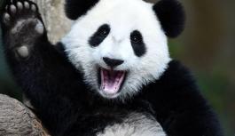 Corona virüs pandalara yaradı