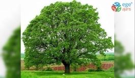 1000 Yıl Yaşayabilen Ağacın Bilinmeyenleri