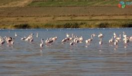 Erçek Gölü'ndeki flamingolar göz kamaştırdı