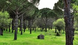 8 bin 822 fıstık çamı kesilmesi kararına tepki: Ağaçlarımızı kestirmeyeceğiz