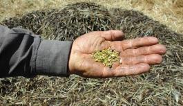 Çiftçide zeytinden sonra şimdi de firik buğdayı endişesi!