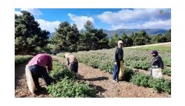 Afyonkarahisar'da yağlık gül hasadı başladı