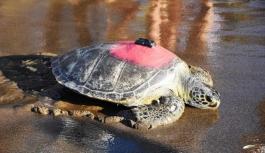 """Kaplumbağa """"Talay'ın"""" Tedavisi Uzaydan Takip Ediliyor"""