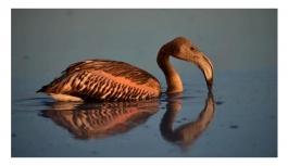 Çiftçiler Tuz Gölü'ne bent çekip su akışını kesince bütün yavru flamingolar öldü