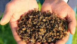 Kitlesel arı ölümleri ürkütüyor !
