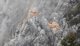 Bakanlık, Tunceli'de dağ keçilerini...