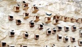 Dünyada sadece Fas ve Türkiye'de bulunan kelaynakların sayısı giderek artıyor