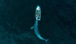 Avustralya'da en büyük kıyıya vurma olayında 70 balina kurtarıldı!