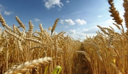 Adana'da buğdayda 778 bin ton rekolte...