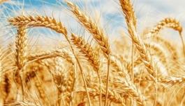 Don ve kuraklık nedeniyle buğdayda yüzde...