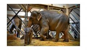 İzmir'in fil ailesi üçüncü yavrusuna kavuştu