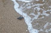 Manavgat'ta yılın ilk caretta caretta yavruları denize ulaştı