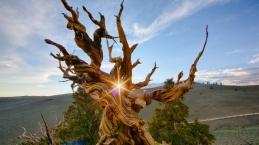 Hala Yaşayan En Yaşlı Ağaçlar