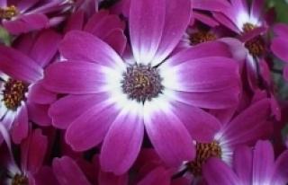 Çiçekler iklim değişikliği karşısında renk...