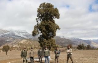 500 yıllık anıt ağaç ardıcın korunmaya alınması...
