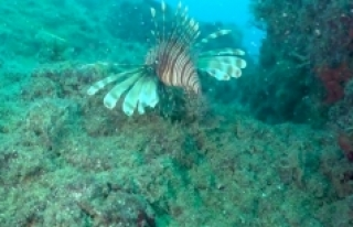 Denizlerde istilacı tür tehlikesi: Balıkçılıkta...