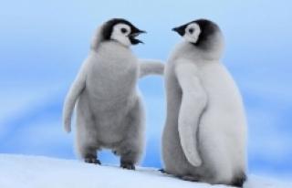 Küresel ısınma sınırlandırılamazsa penguenlerin...