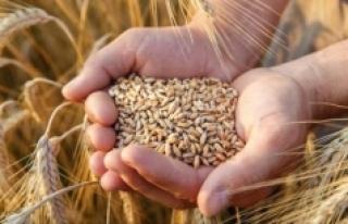 Ay sonuna kadar oluşacak yağışlar Buğday rekoltesini...