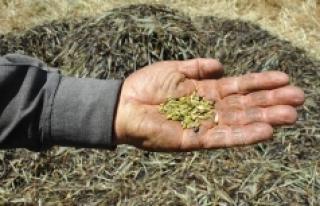 Çiftçide zeytinden sonra şimdi de firik buğdayı...