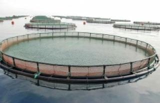 Kilometrelerce sahili kapatacak balık çiftliklerine...