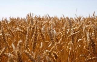 Ülker'den yerli bisküvilik buğday için yeni...