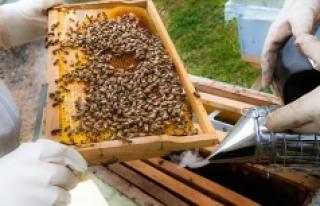 Yaşanan kuraklıktan arı varlığı ve bal üretimi...