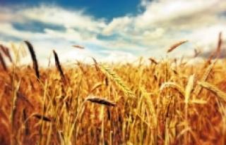 Yeterince sulanamayan buğdaylar erkenden baş verdi