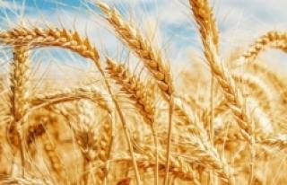 Don ve kuraklık nedeniyle buğdayda yüzde 50'nin...
