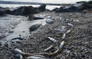 Küçükçekmece Gölü sahili kıyıya vuran ölü...